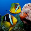 A pair of orangefin anemonefish (Amphiprion chrysopterus) tending to their eggs
