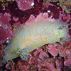 A nudibranch (Halgerda guahan), first described on Guam