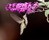 Annas Hummingbird at Flower 2