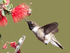 Black-chin Hummer at Flower