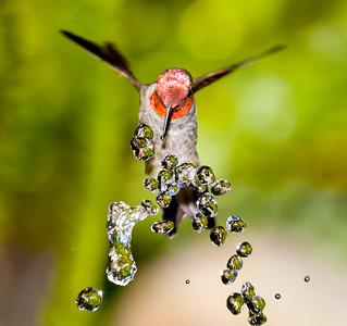 Annas Hummingbird at Fountain