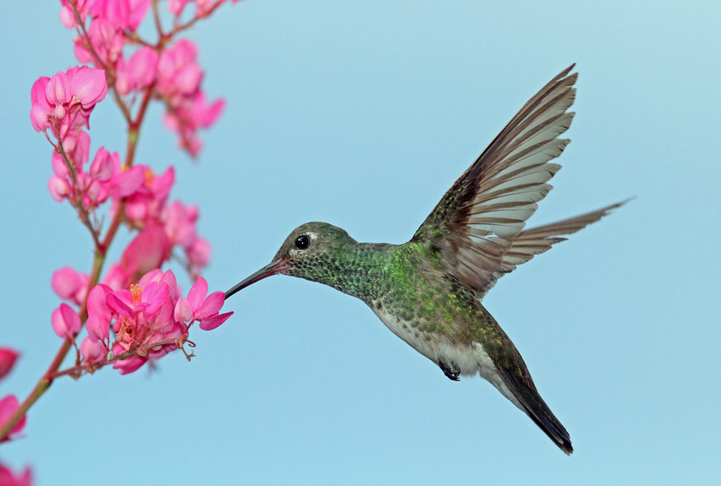 Versicolored-emerald Hummer