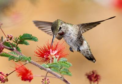 Annas Hummingbird at Red Flower