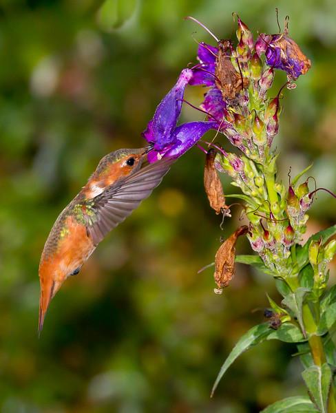 Abravaya_Paul_B_Allens Hummer at the Purple Flower