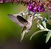 Annas Hummingbird at  Flower