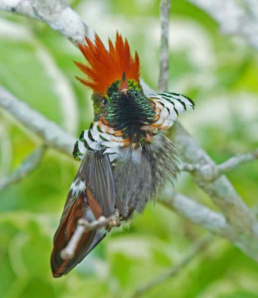 Frilled Coquette Hummer (second smallest bird in the world)