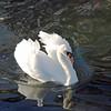A beautiful mute swan in waters around Wickford RI