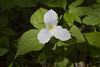 1-Trillium bloom