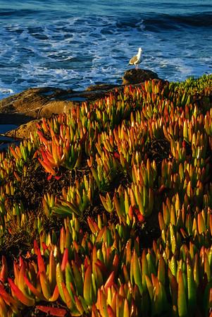 Seagull on the California coast.  Santa Cruz, California