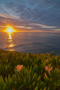 Sunrise flowers on the California coast. Santa Cruz, California