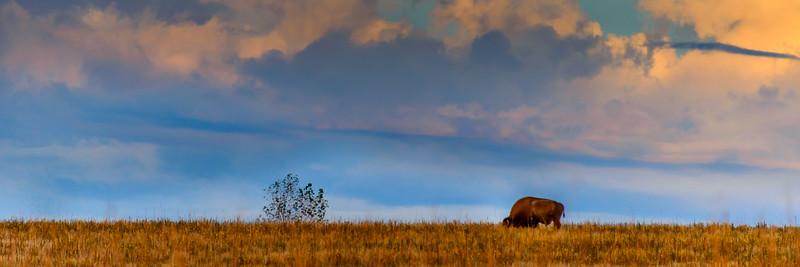 Lone bison on Antelope Island, Utah