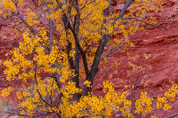 Cottonwood and redrock, Dirt Devil canyons, Uath