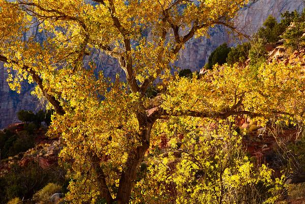 Backlit Cottonwoods, Utah