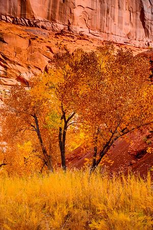 Desert Cottonwoods, Dirty Devil canyons, Utah