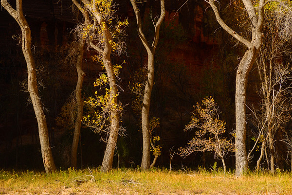 Cottonwoods, Zion National Park, Utah