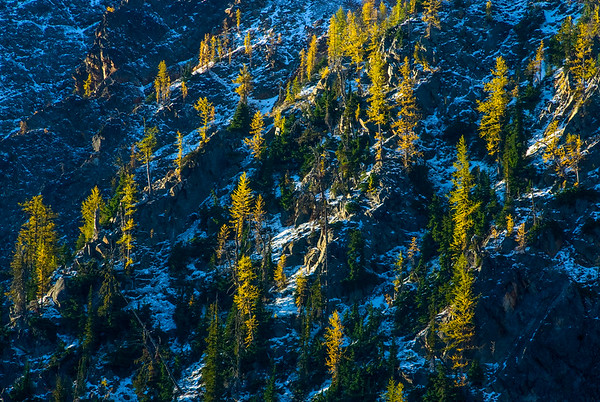 Larches in snow, Central Cascades, Washington