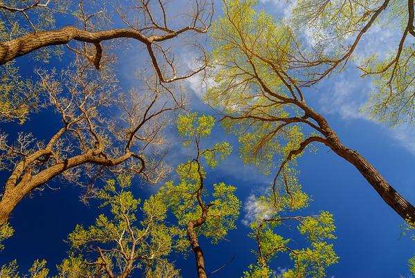 Cottonwoods, Zion National Park, Utah