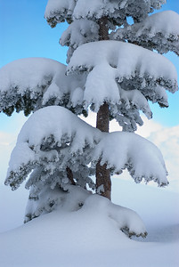 Fresh snow blankets a young fir tree in Washington's Cascade Mountains
