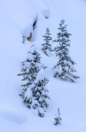 Fresh snow and small conifers, Winter Park, Colorado