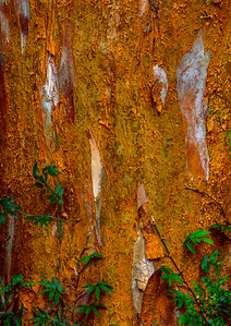 Bark of the Araya tree, Chile