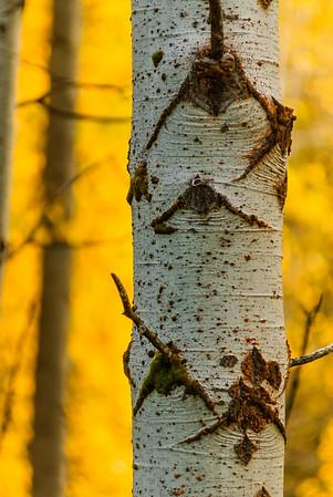 Aspen bark, Leavenworth, Washington