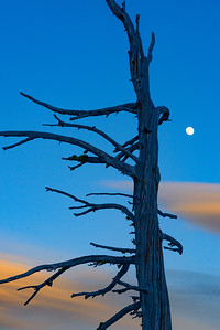 Moon and snag, Goat Rocks Wilderness, Washington