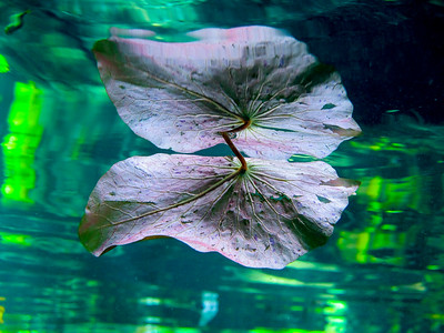 Leaf reflection, Yucutan, Mexico