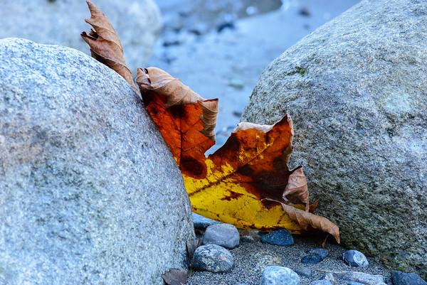 Maple leaf, Skykomish River, Washington