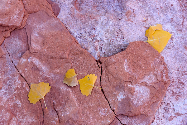 Cottonwood leaves, Dirty Devil canyons, Utah