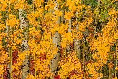 Aspen grove, Cascade Mountains, Washington