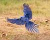 Hyacinth Macaw_06-08-15_0043