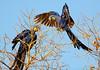 Hyacynth Macaw (1)