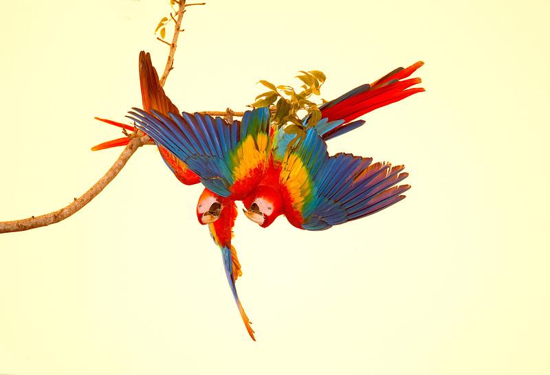 Scarlet macaws Playing  4