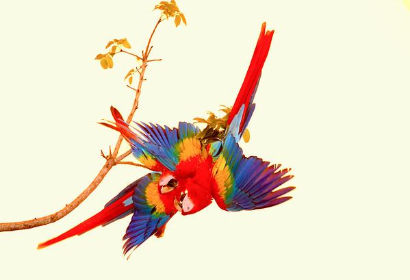 Scarlet macaws Playing  3