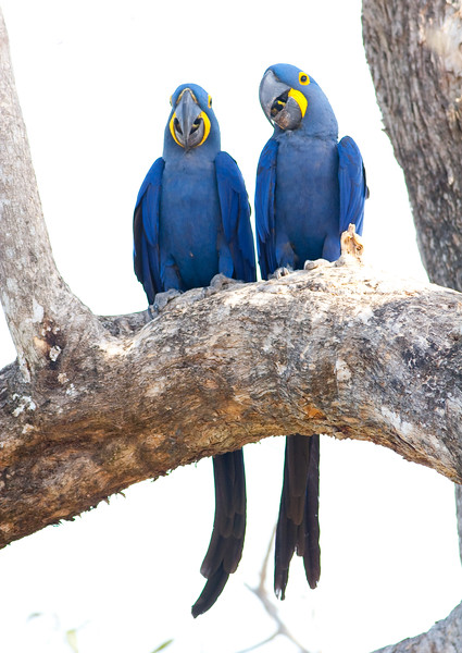 Hyacinth Macaw_06-08-13_0056