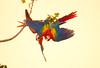 Scarlet Macaws Playing (3)