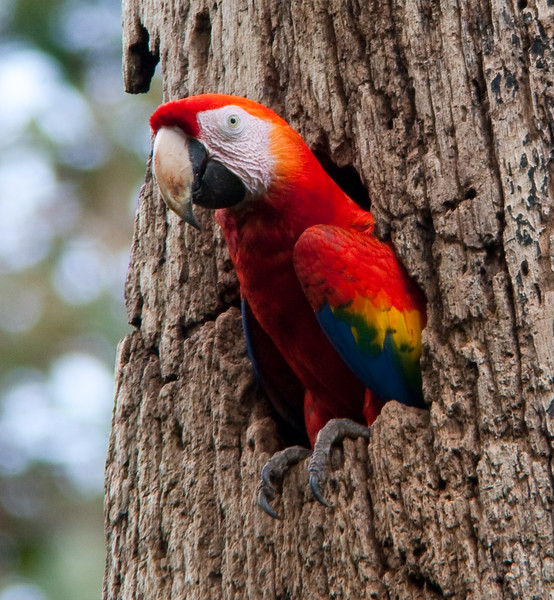 Scarlet Macaw in nest
