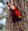 Scarlet Macaw in nest