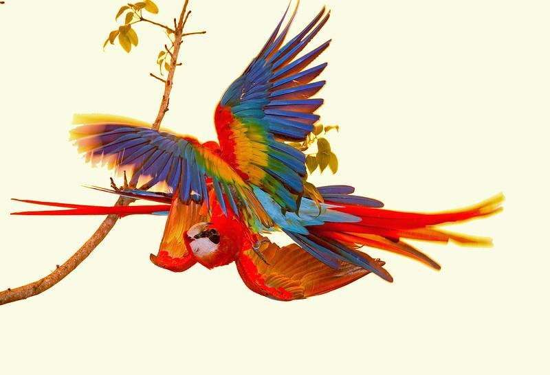 Scarlet macaws Playing  2
