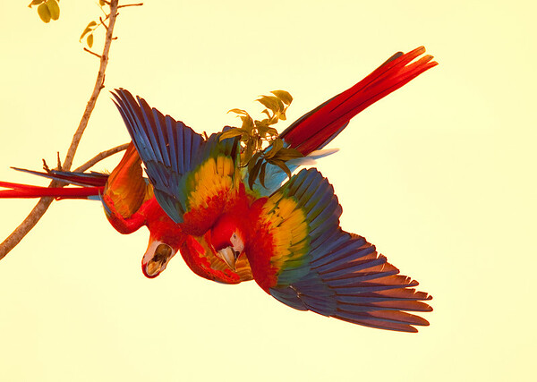 Scarlet Macaws Playing (4)