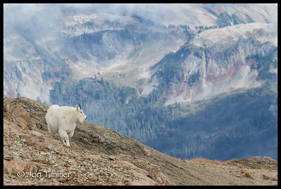 Mountain Goat with upper Swift Ck drainage in background.