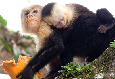 White Faced Monkey and Young