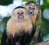 White Faced Monkeys angry