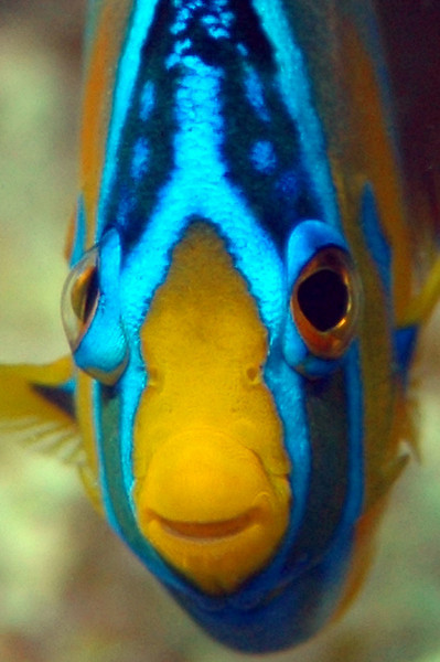 I'm watching you...!!!  Juvenile Queen Angelfish - Duck Key, FL
