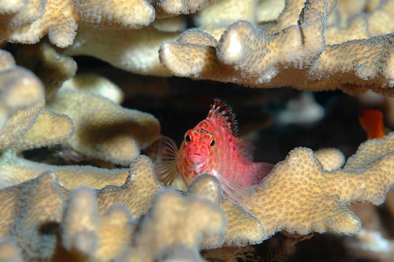 Pixy Hawkfish, Fiji