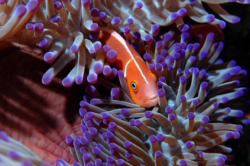 Pink Anemonefish, Fiji