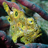 Longlure Frogfish, Bonaire
