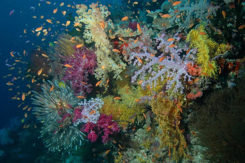 Soft Corals, Fiji