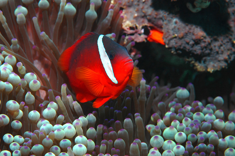 Tomato Anemonefish with Bulb-tentacle Anemone, Fiji