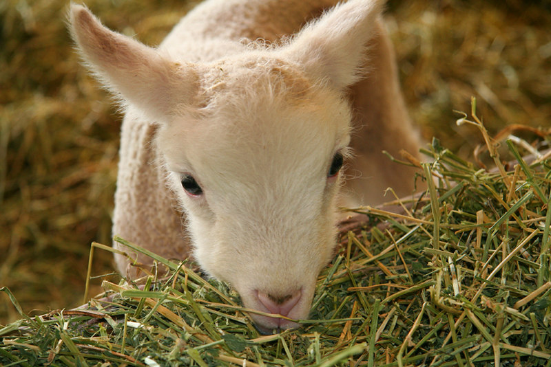 Lambing season at Oregon State University